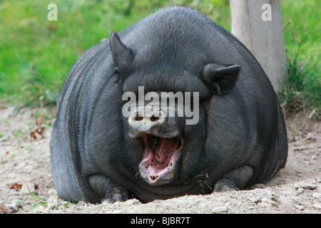 Vietnamese Pot-bellied Pig, yawning - Stock Photo
