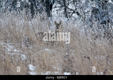 Roe Deer Buck (Capreolus capreolus) - in frost covered grass wilderness - Stock Photo