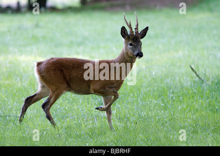 Roe Deer (Capreolus capreolus), Buck standing alert, Germany - Stock Photo