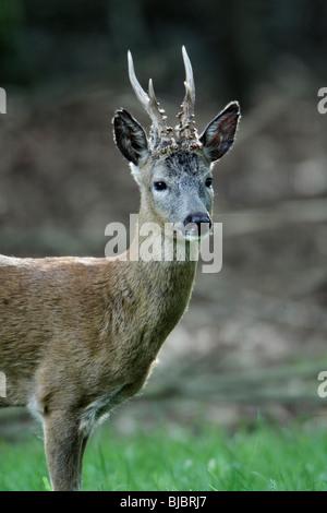 Roe Deer (Capreolus capreolus), Buck standing alert, Germany - Stock Photo