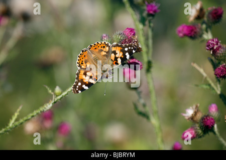 Painted Lady butterfly (Vanessa cardui), feeding on thistle flowers, Germany - Stock Photo