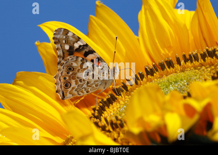 Painted Lady Butterfly (Vanessa cardui) - feeding on nectar from sunflower - Stock Photo