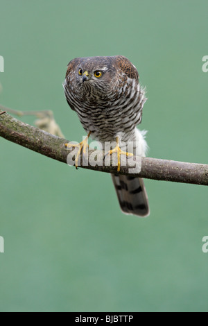 Sparrowhawk ( Accipiter nisus), female, perched on branch, Germany - Stock Photo