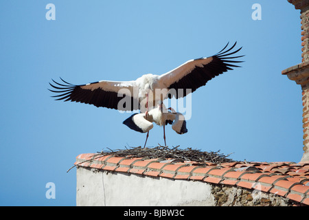 White Stork (Ciconia ciconia), pair mating on building roof, Extremadura, Spain - Stock Photo