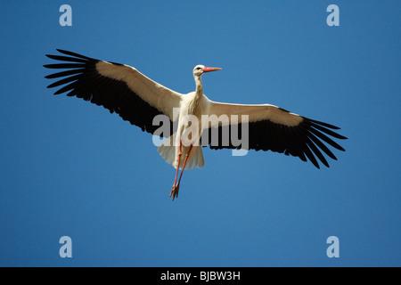 White Stork (Ciconia ciconia), in flight, Extremadura, Spain - Stock Photo
