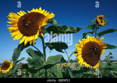 Honeybees (Apis mellifera) feeding on a Sunflower heads (Helianthus annuus), Germany - Stock Photo