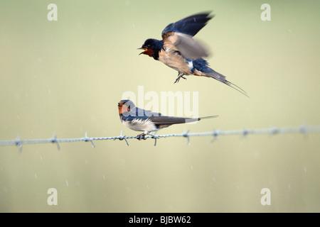 Barn Swallow (Hirundo rustica), pair courtship displaying, Portugal - Stock Photo
