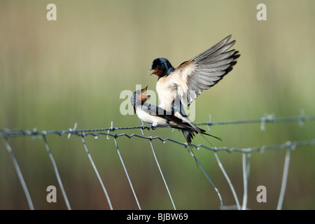 Barn Swallow (Hirundo rustica), pair mating on fence, Portugal - Stock Photo