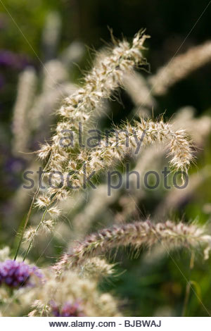 Oriental fountain grass pennisetum orientale backlit by for Hardy fountain grass