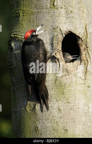 Black Woodpecker (Dryocopus martius), male calling to chicks at nest entrance, Germany - Stock Photo