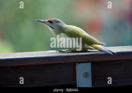 Grey-Headed Woodpecker (Picus canus), sitting on house balcony, Germany - Stock Photo