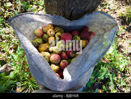 Cider apples in sack at harvest time in orchard of Frank Naish. Glastonbury, Somerset, England. - Stock Photo