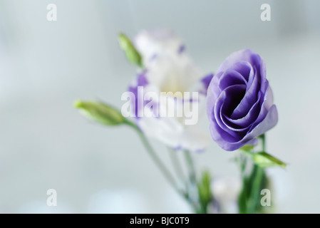 Purple and white lisianthus flower buds opening - Stock Photo