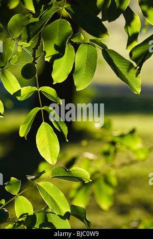 Leaves of walnut tree - Stock Photo