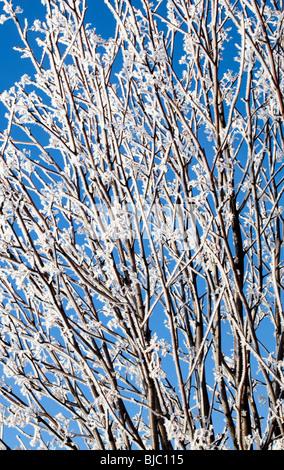 Frosty Rowan tree branches ( Sorbus aucubaria )  against blue sky - Stock Photo