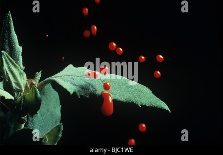 Red dyed water droplets bouncing from the surface of a fat hen leaf - Stock Photo