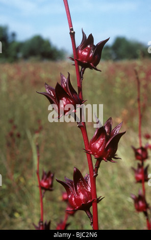 Fruit of red okra or roselle (Hibiscus sabdariffa) on the plant and used in confectionery, Thailand - Stock Photo