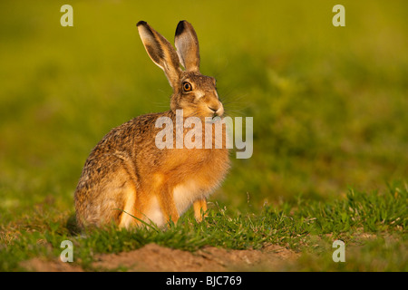 Brown Hare ( Lepus europaeus ) On British Farmland - Stock Photo