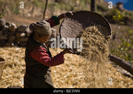 A VILLAGE WOMAN threshing wheat in the village of CHAAK - AROUND MANASLU TREK, NEPAL - Stock Photo
