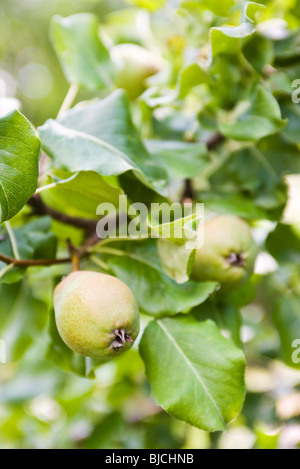 Pears growing on branch - Stock Photo