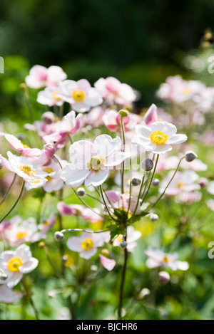 Japanese anemone flowers (Anemone hupehensis) - Stock Photo