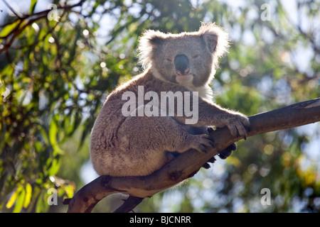 Koala bear in Great Otway National Park, near Bimbi Camping Park, Victoria, Australia - Stock Photo