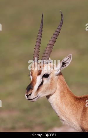 Portrait of a male Thomson's Gazelle in Ngorongoro Crater of Tanzania - Stock Photo