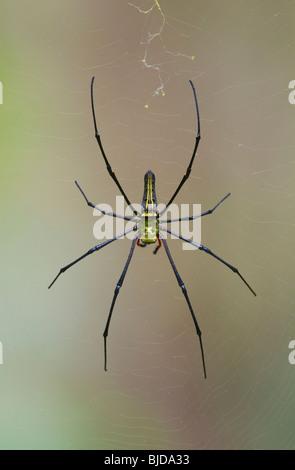 GOLDEN ORB WEB SPIDER (Nephila pilipes) on web, Ko Ra, Thailand. - Stock Photo