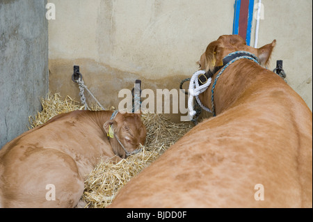 At the Great Yorkshire Show a cow and calf rest in their pen. - Stock Photo