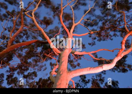 Mature lemon scented gum trees Eucalyptus citriodora in Kings Park Perth Western Australia, Australia - Stock Photo