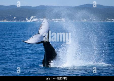 Humpback whale (Megaptera novaeangliae) tail splashing water surface. Hervey Bay, Fraser Island  Queensland, Australia - Stock Photo