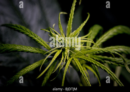 Cannabis cultivation (C. Sativa, C. Indica, C. Ruderalis) under artificial lighting. A flowering female cannabis - Stock Photo