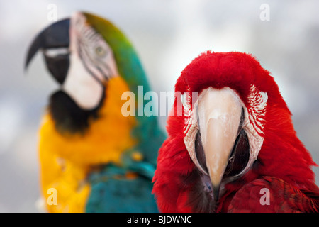 Green-winged macaw with a blurred blue and yellow parrot in the background - Stock Photo