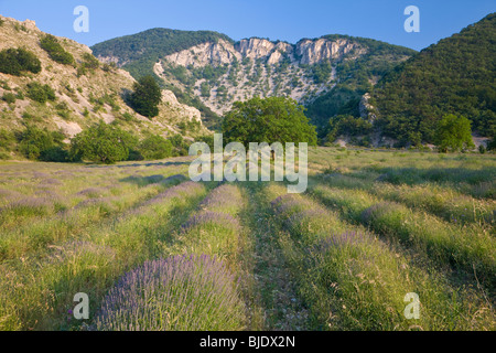Lavender, nr Montbrun-les-Bains, Vaucluse, Provence, France - Stock Photo