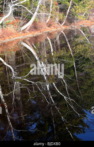 Mirrored image of tree limbs in lake reflection, white birch, aspen, evergreen, fir trees, green, boughs, blue lake, - Stock Photo