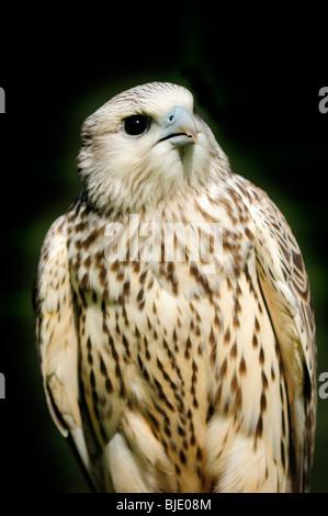 A Gyrfalcon (Falco rusticolus) against a dark background - Stock Photo