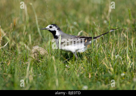 White Wagtail (Motacilla alba) in grass field - Stock Photo