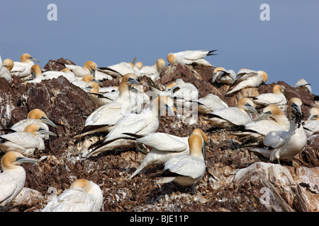 Gannets, Morus bassanus, colony and nests at Bass Rock, Scotland UK - Stock Photo