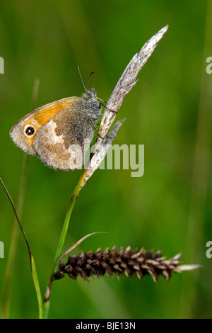 Small heath (Coenonympha pamphilus) on a Sedge (Carex sp.) in grassland, Hautes Fagnes; Belgium; Europe - Stock Photo