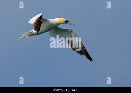 Northern gannet (Morus bassanus / Sula bassana) in flight above the North Sea, England, UK - Stock Photo