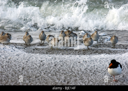 Flock of Red knots (Calidris canutus) in winter plumage on frozen beach in winter, Zeeland, the Netherlands - Stock Photo