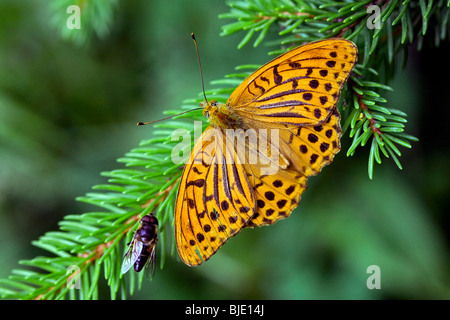 Silver-washed Fritillary (Argynnis paphia) in forest, France, Europe - Stock Photo