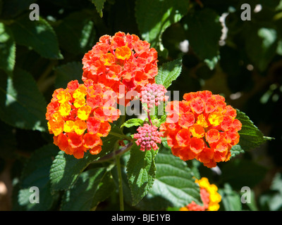 Hyères, Provence, France. Flowers of Lantana camara. - Stock Photo