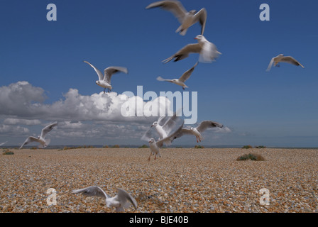 Gulls  flying low to the ground against clouds over a flat shingle beach on the south east coast of England. - Stock Photo