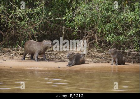 Three Capybaras (Hydrochoerus hydrochaeris) at the waterfront, Pantanal, Mato Grosso, Brazil - Stock Photo