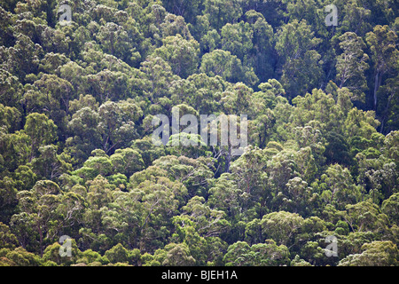 Eucalyptus forest , South East Forest National Park, NSW, Australia - Stock Photo