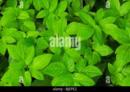 Ground-elder (Aegopodium podagraria), leaves seen from above. - Stock Photo