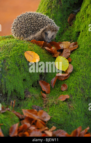 Hedgehog (Erinaceus europaeus) in a Beech forest looking for food, Netherlands. - Stock Photo