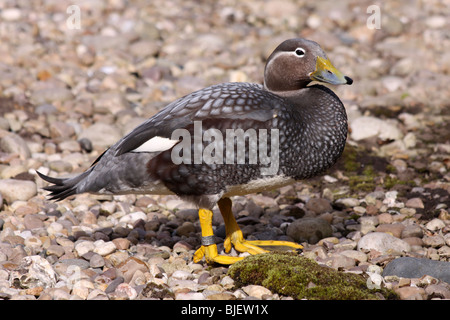 Falkland Steamer Duck Tachyeres brachypterus Taken At Martin Mere WWT, Lancashire UK - Stock Photo