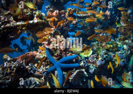 Malapascua manifold versatile multiplex life on artificial built reef fish starfish sea urchin under water underwater - Stock Photo